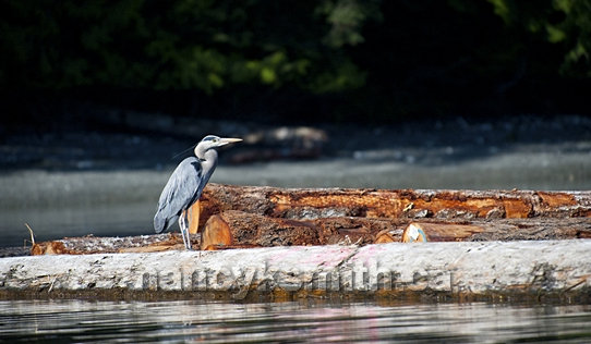 Photo of Great Blue Heron On Log Boom