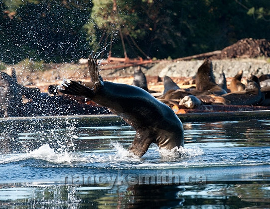 Photo of Sea lion Dive Into Northwest Bay