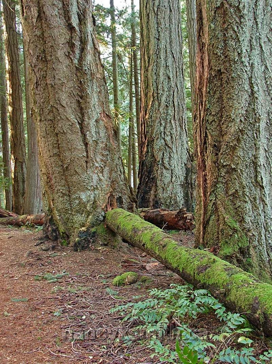 Photo of Impressive Old Growth Douglas firs About 400 Years Old
